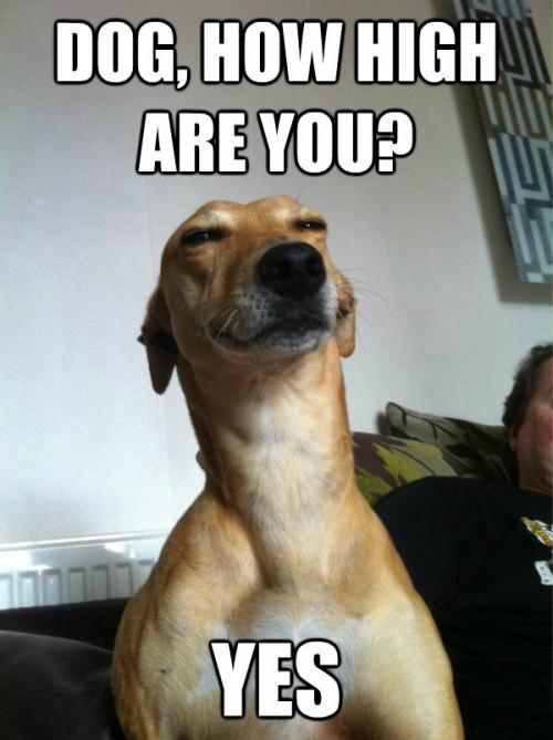 dog-high